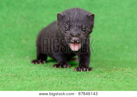 Small Animal Mink