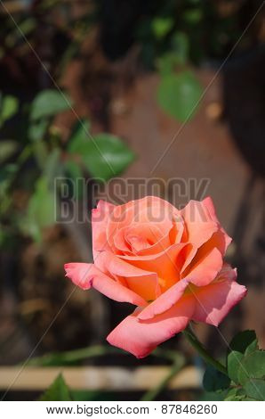 Rose In The Garden With Blurred Background