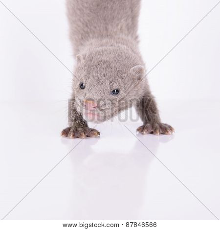 Small Gray Mink