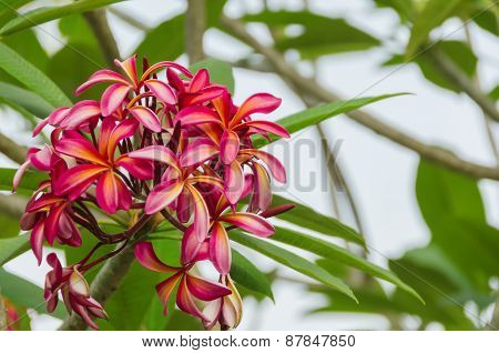 The Branch Of Pink Frangipani Flowers