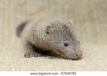 Gray Puppy Mink
