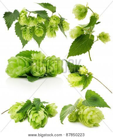 Set Of Green Hops Isolated On The White Background