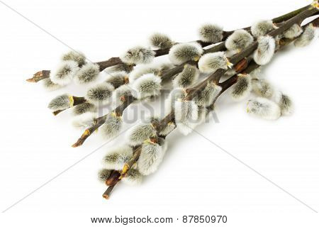 Grey Willow Isolated On A White Background