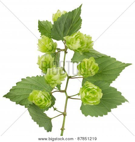 Green Hops Isolated On A White Background