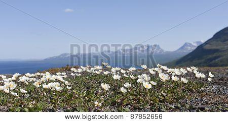 Mountain avens, Dryas octopetala in Latin.