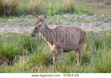 Pregnant Hind