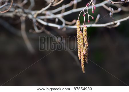 Branches Of Alder, Alnus Glutinosa, With Inflorescence And Cones