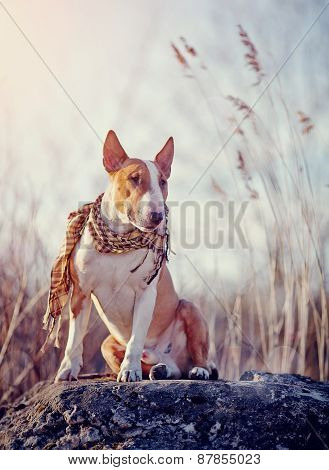 Attentive Bull Terrier In A Checkered Scarf
