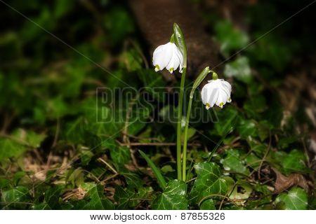 Early Spring Snowflake Flowers, Leucojum Vernum, Growing Out Of Ivy