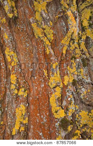 Rust-colored bark with yellow lichen