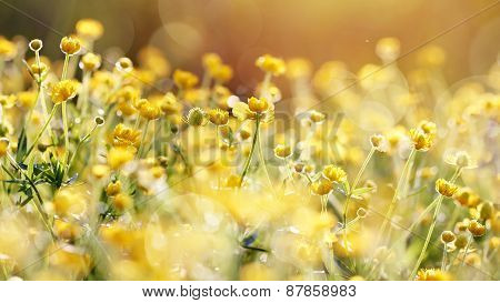 The Yellow Flowers Of A Buttercup