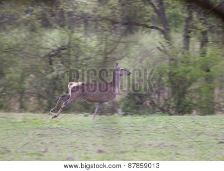 Hind Running Away In Forest