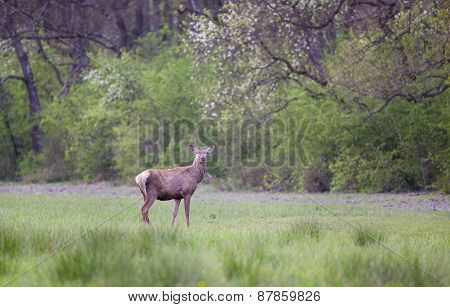 Red Deer In Spring