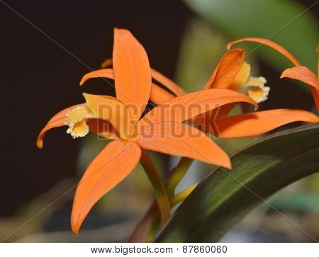 Sickle-leaf Laelia Orchid