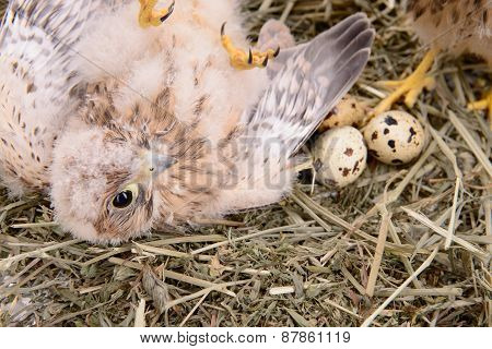 Young Falcon Bird