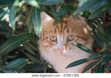 Portrait Of  Ginger And White Tabby Cat Among The Bushes