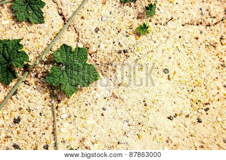 Green Ivy On Sand