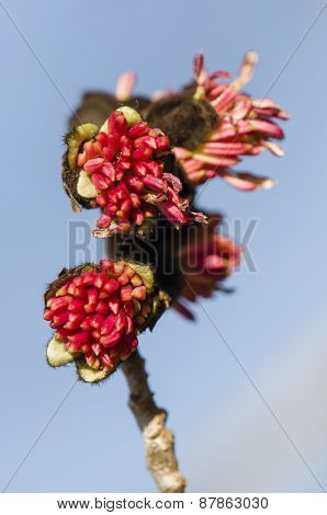 Parrotia Persica Red Flowers