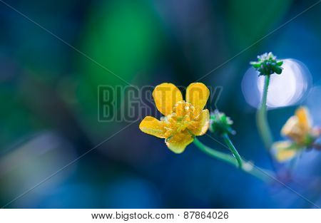 Beautiful Yellow Buttercup Flower Macro