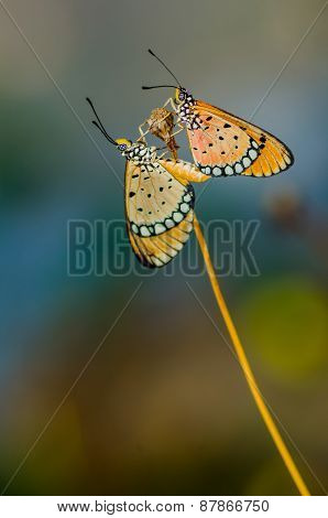 Butterflies mating
