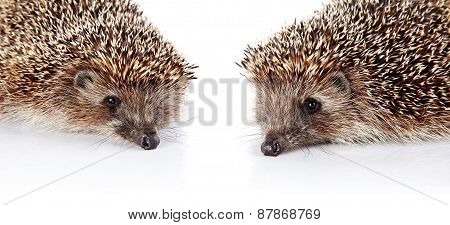 Two Forest Prickly Hedgehogs On A White Background.
