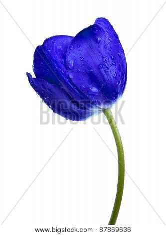 Dewy blue tulip