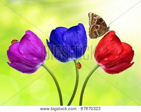 Dewy colorful tulips with butterfly morpho