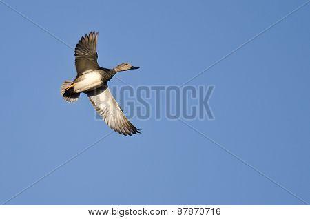 Lone Gadwall Flying In A Blue Sky