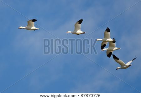 Five Snow Geese Flying In A Blue Sky