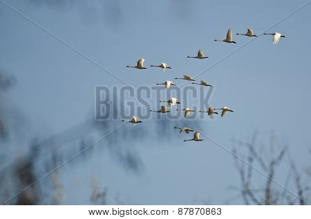 Large Flock Of Tundra Swans Flying Over The Marsh