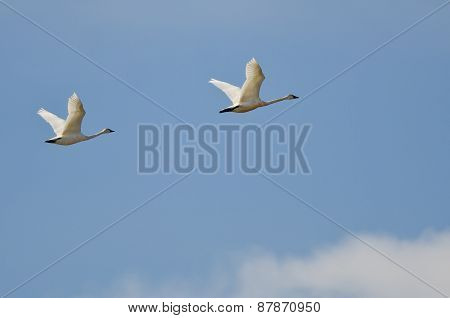 Pair Of Tundra Swans Flying High Above The Clouds