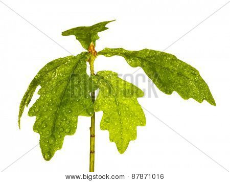young oak with drops of water, vector