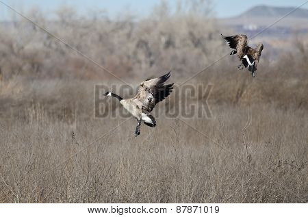 Pair Of Canada Geese Landing In The Marsh