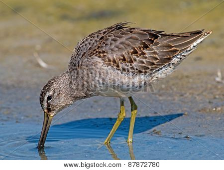 Long-billed Dowitcher - juvenile
