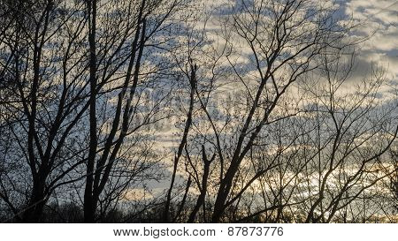 Locust Tree Silhouettes Against a Partly Cloudy Twilight Sky