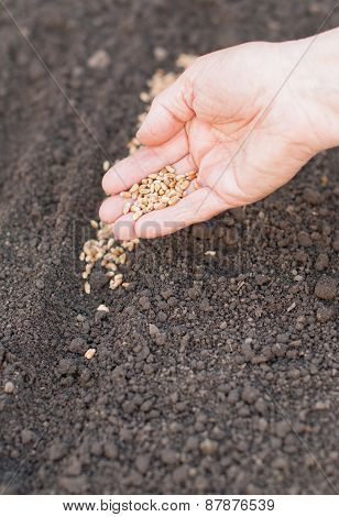 Sowing Seeds Into Soil. Agriculture.