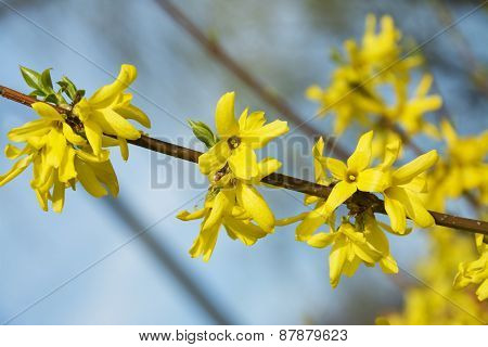 Forsythia, A Beautiful Spring Bush With Yellow Flowers