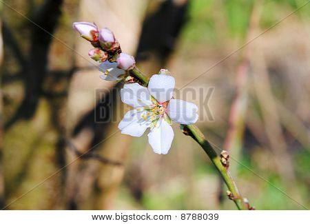 Flower Of The Almond Tree