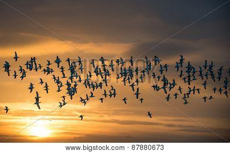 Flock Of Avocets In Flight