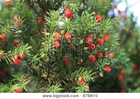 Pine Berry