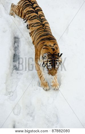 Tiger Comes Down From Mountain Covered By Snow