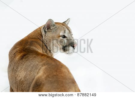 Puma Concolor In Front Of A White Background