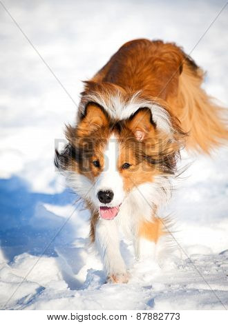 Sable Border Collie Runs