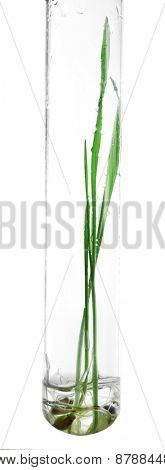 Sprouted grains in glass test tube isolated on white