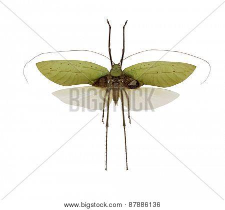 flying grasshopper isolated on white background