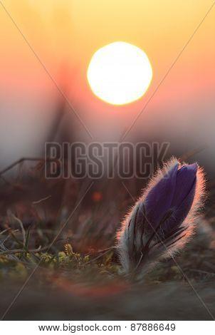 Spring Flower Pasqueflower- Pulsatilla Grandis,sunrise