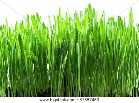 Green grass isolated on a white background.