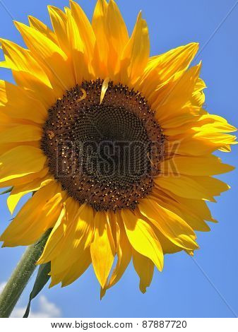 solo sunflower on blue sky