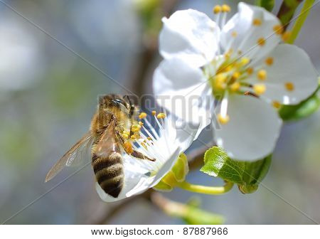 Blossoming branch with flower of cherry tree and a honey bee