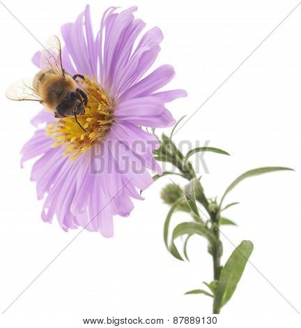 Honeybee And Blue Flower